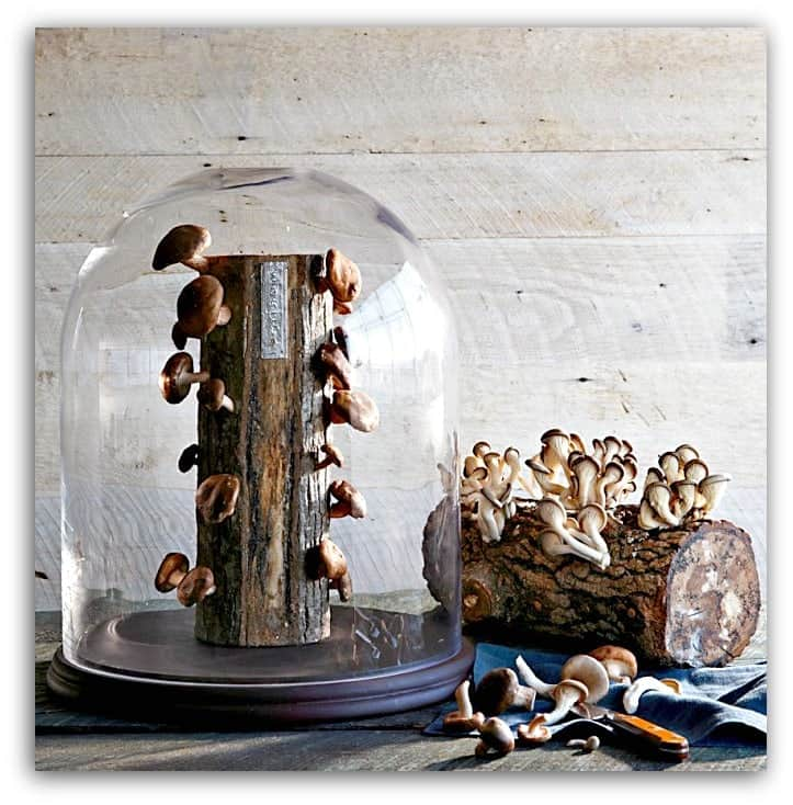 shiitake mushroom log in glass