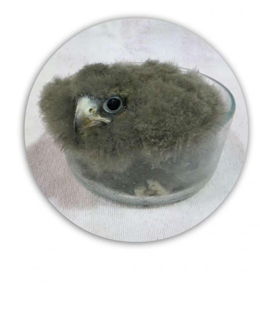 baby-falcon