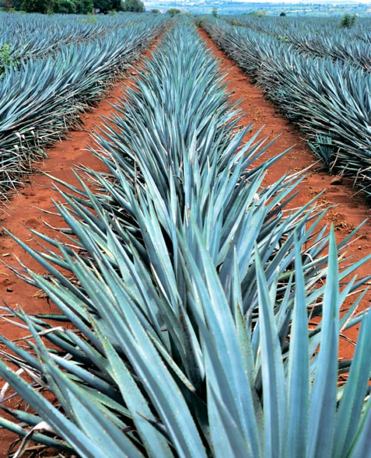 don-julio-agave-plants