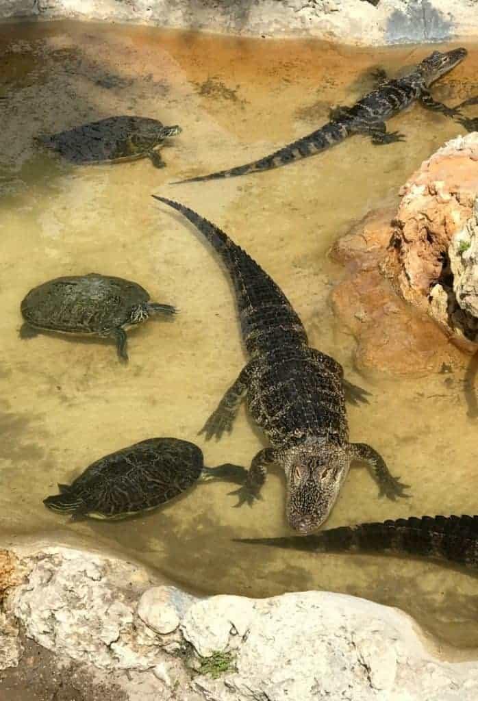 gators in pond